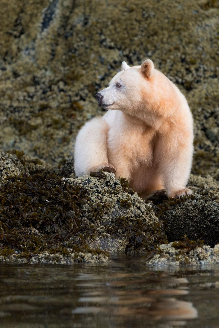 Andebjörn, Spirit bear, Ursus americanus kermodei