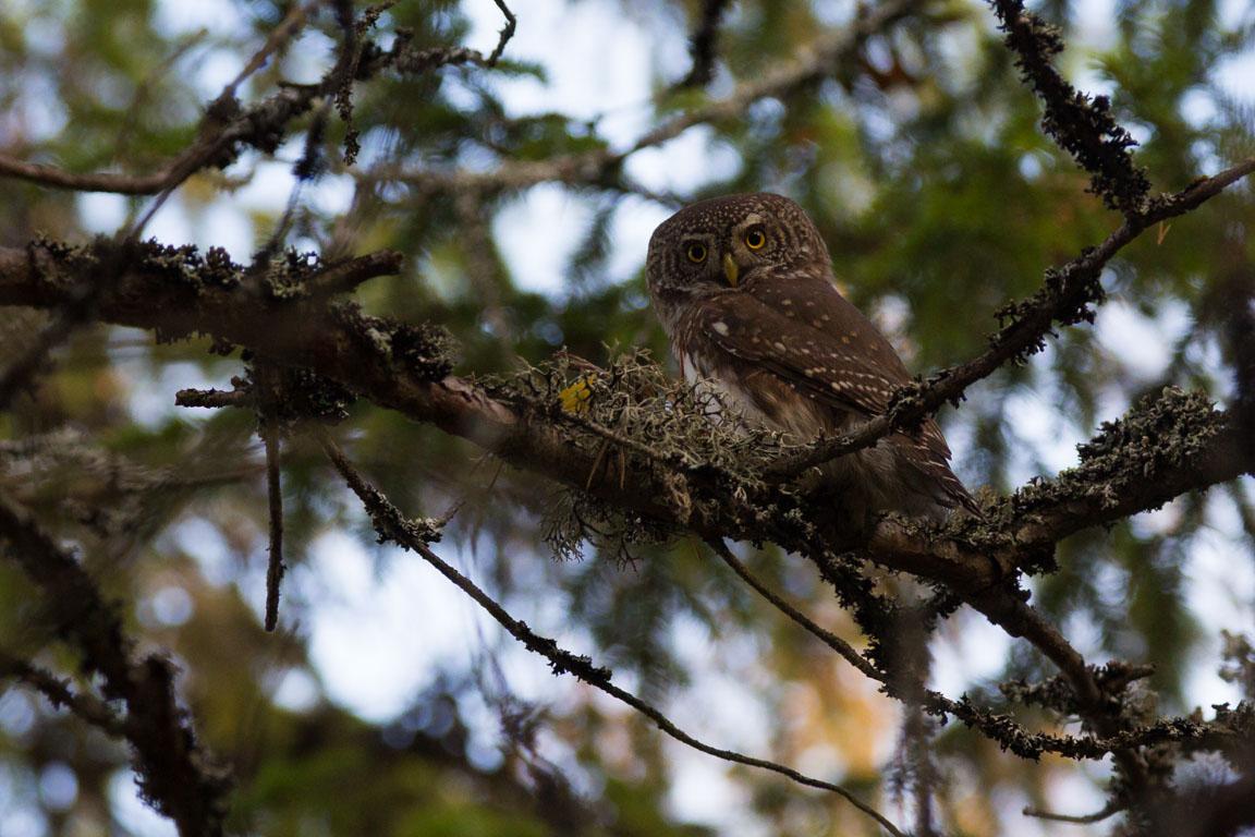 Sparvuggla, Eurasian Pygmy Owl, Glaucidium passerinum