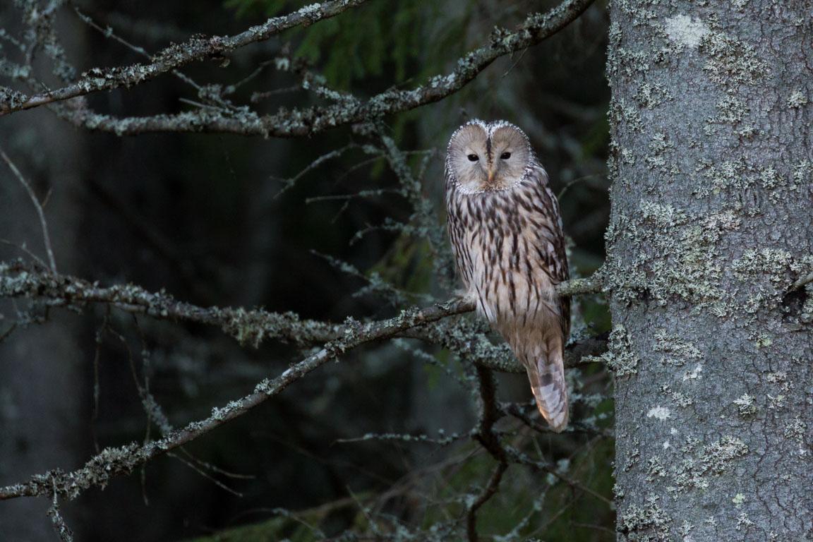 Slaguggla, Ural Owl, Strix uralensis