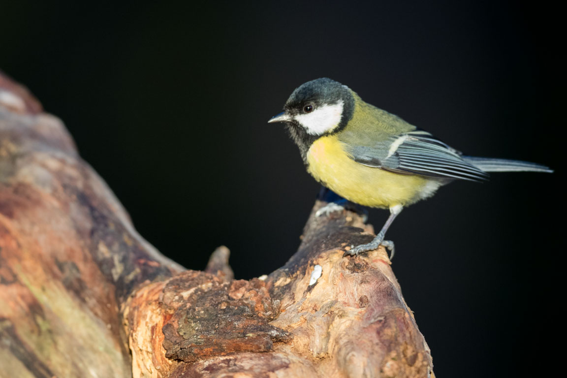 Talgoxe, Great tit, Parus major