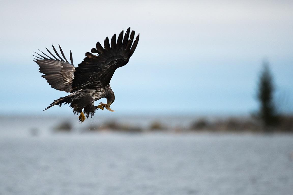 """En örn jagade en korp som släppte """"bytet"""". Detta plockades upp i vattnet av örnen."""