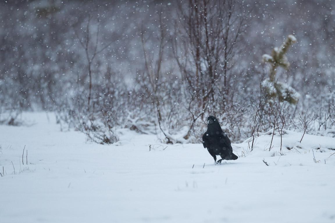 Korp i snöfall