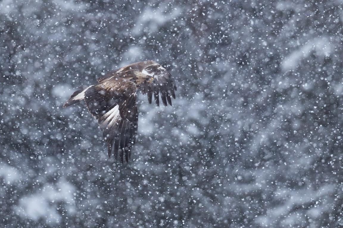 Kungsörn flyger i snöyran