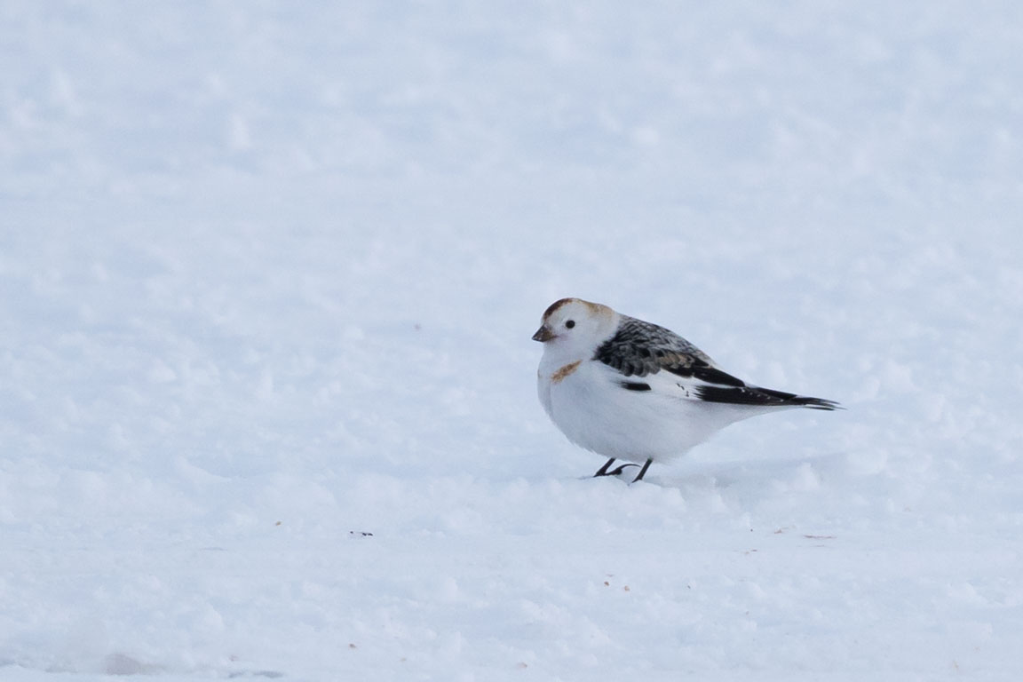 Snösparv, Snow Bunting, Plectrophenax nivalis
