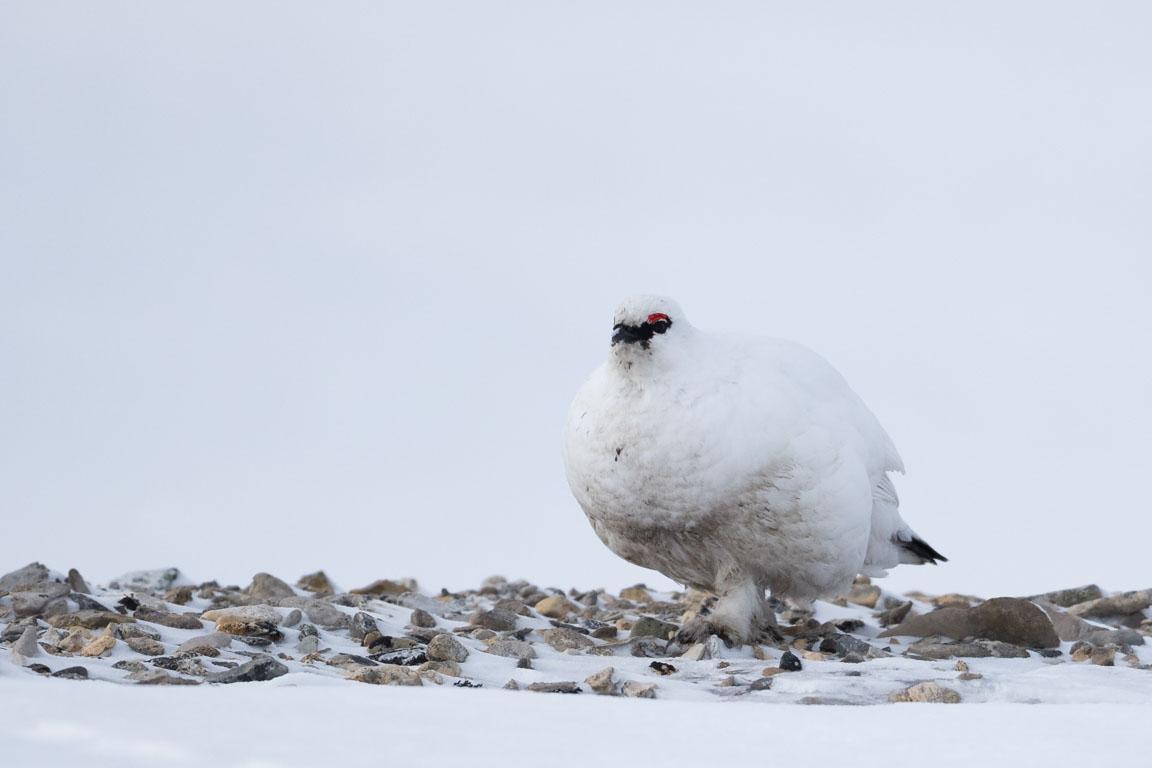 Fjällripa, Rock ptarmigan, Lagopus muta