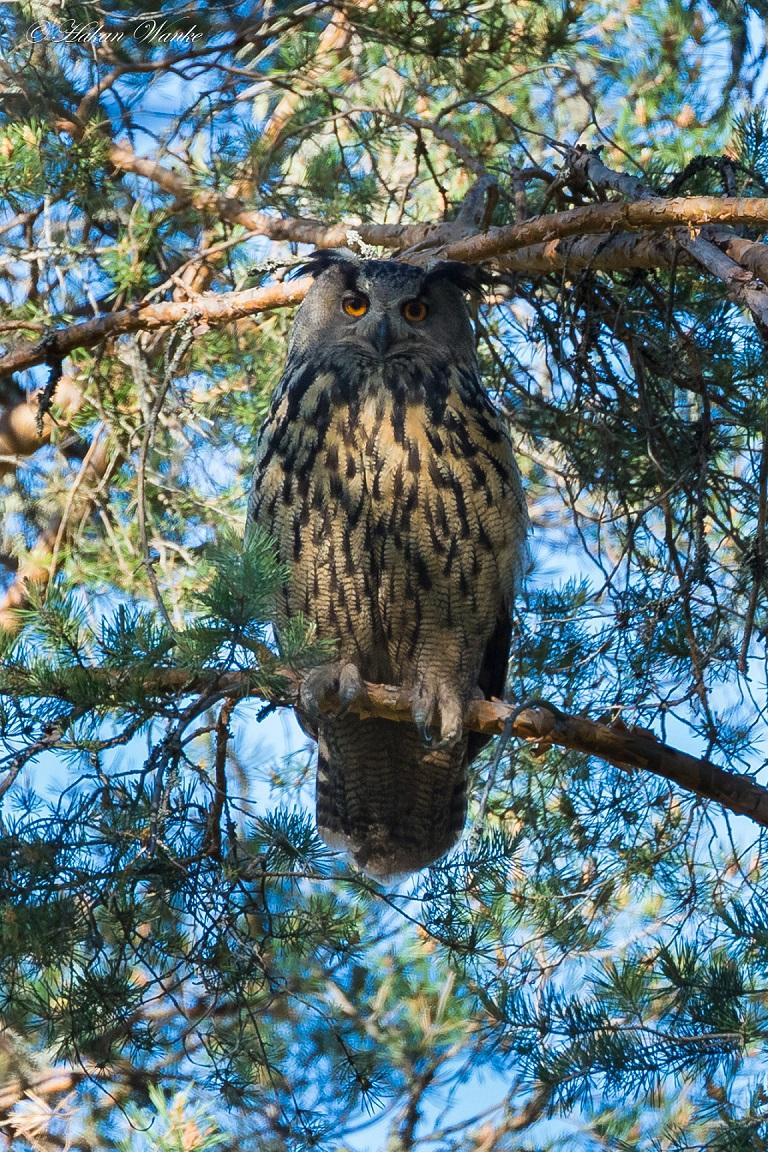 Berguv, Eurasian Eagle-Owl, Bubo bubo