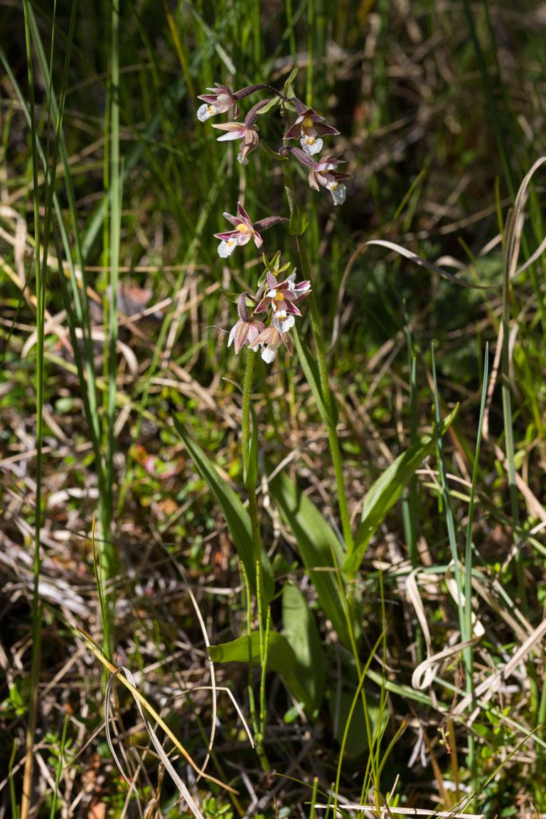 Kärrknipprot, Marsh Helleborine, Epipactis palustris