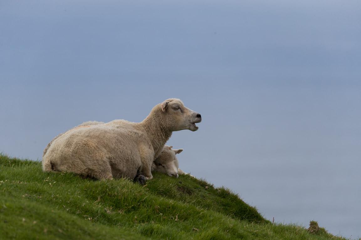 Får med lamm betar överallt