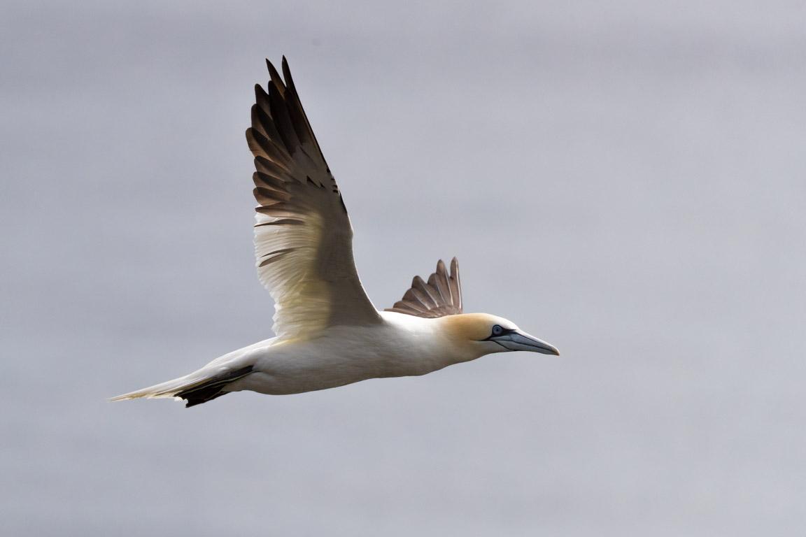 Havssula, Northern gannet, Morus bassanus