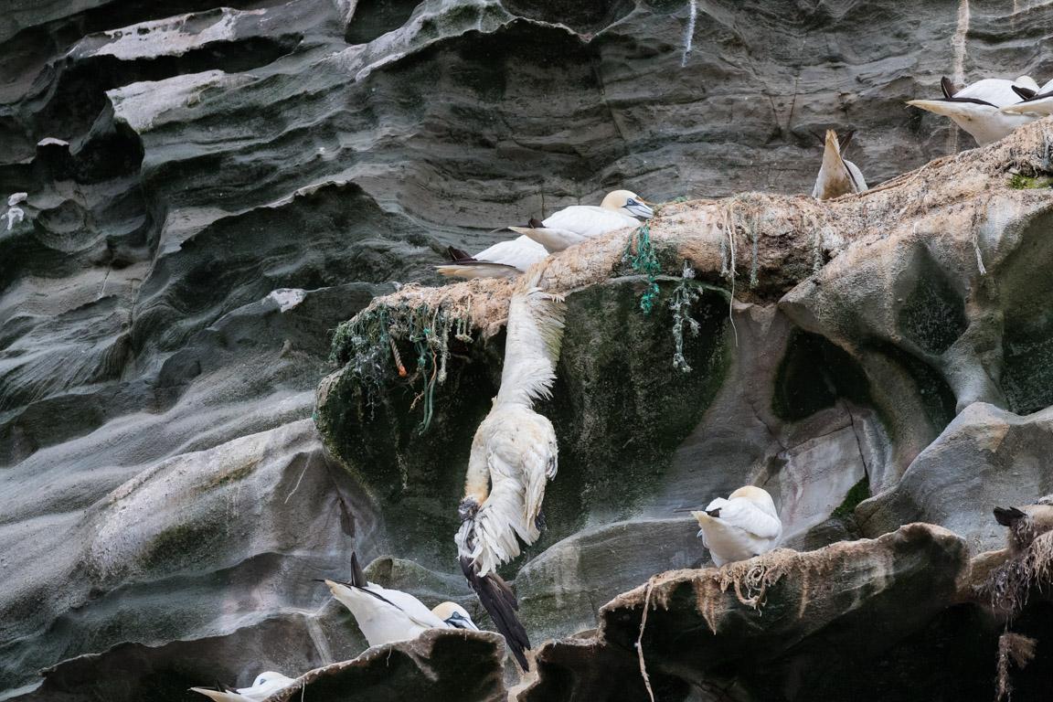 Död sula som fastnat i skräp