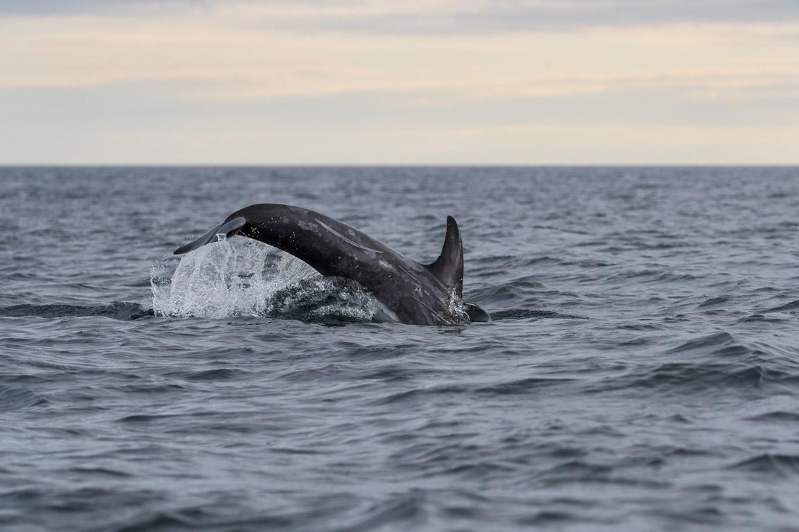 Rissos delfin, Risso's dolphin, Grampus griseus