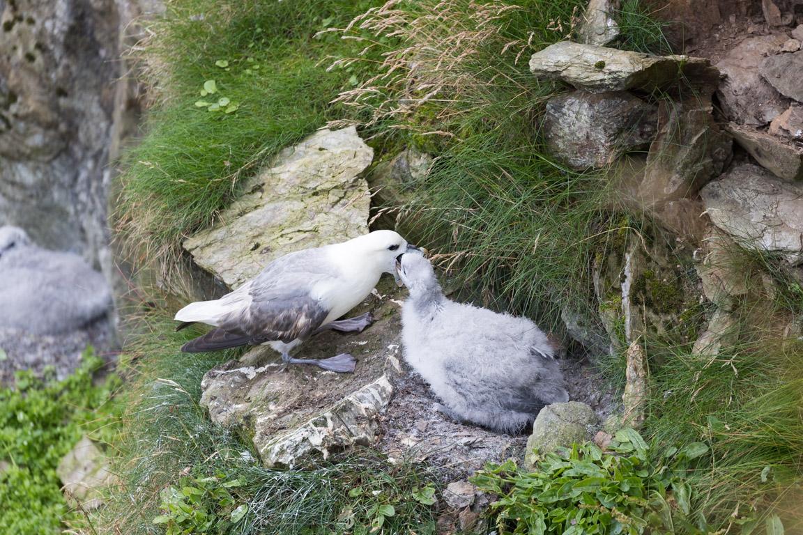 Stormfågel matar sin unge