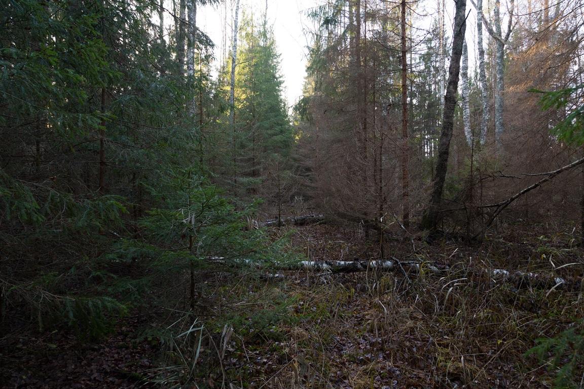 Risig skog
