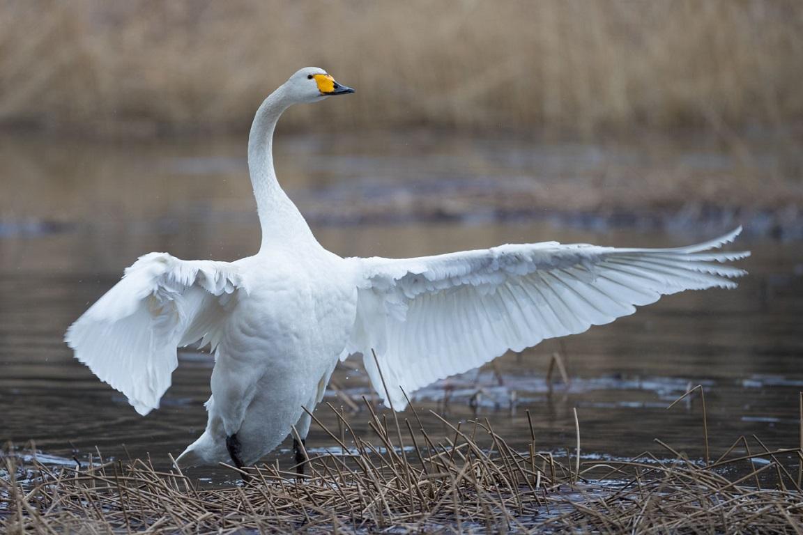 Sångsvan, Whooper Swan, Cygnus cygnus