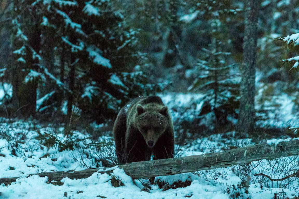 Björn i snö