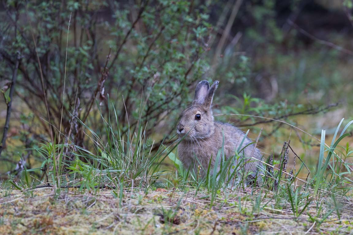 Snöskohare, Snowshoe hare, Lepus americanus