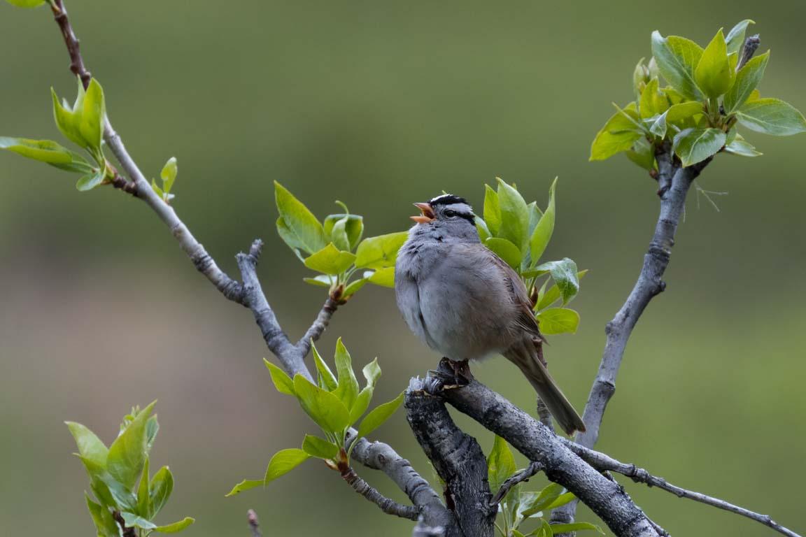 Vitkronad sparv, White-crowned sparrow, Zonotrichia leucophrys