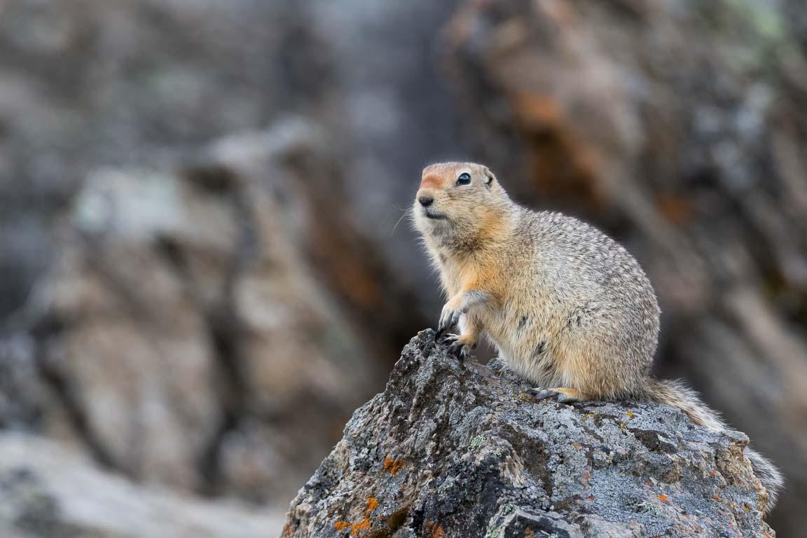 Arktisk sisel, Arctic Ground Squirrel, Urocitellus parryii
