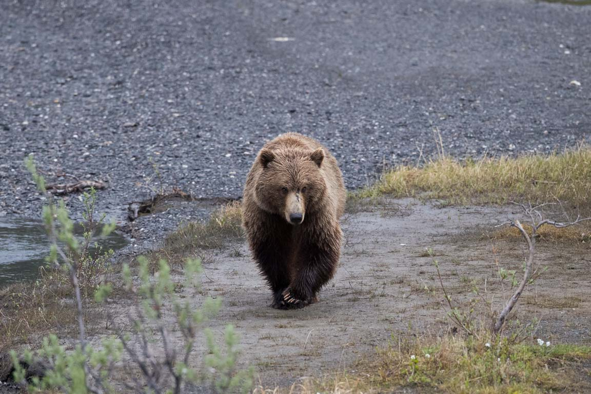 Grizzlybjörn, Grizzly bear, Ursus arctos horribilis