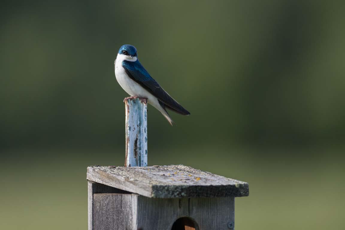 Trädsvala, Tree swallow, Tachycineta bicolor
