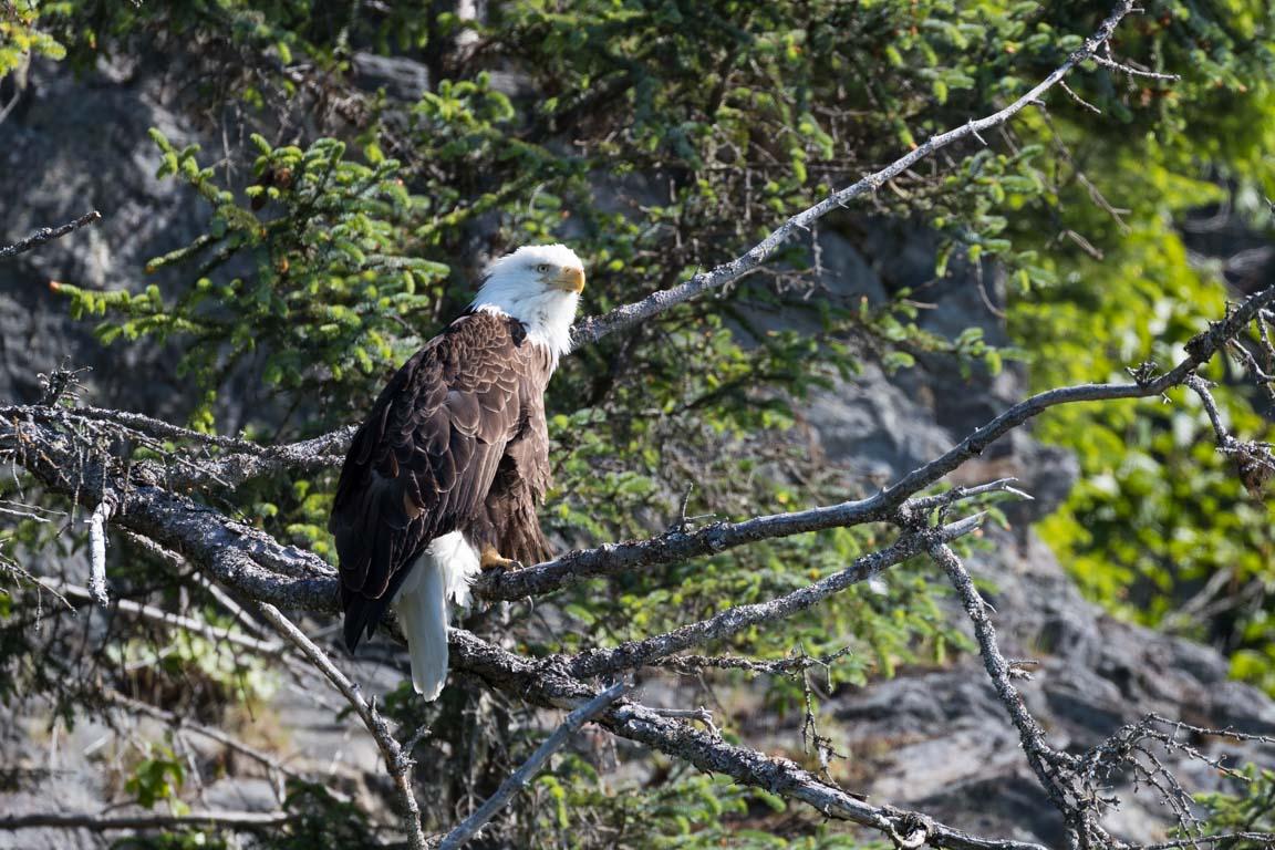 Vithövdad havsörn, Bald eagle, Haliaeetus leucocephalus