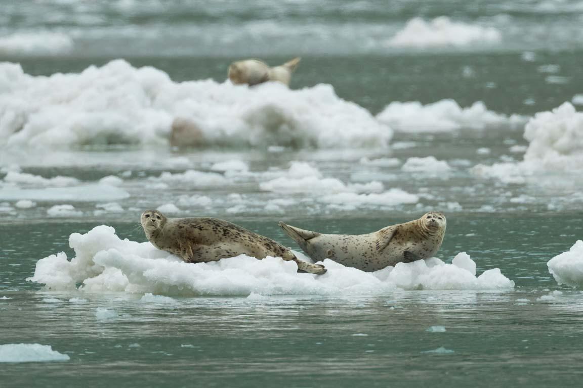 Knubbsäl, Harbour seal, Phoca vitulina