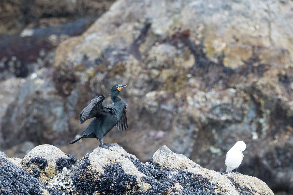 Storskarv, Great Cormorant, Phalacrocorax carbo