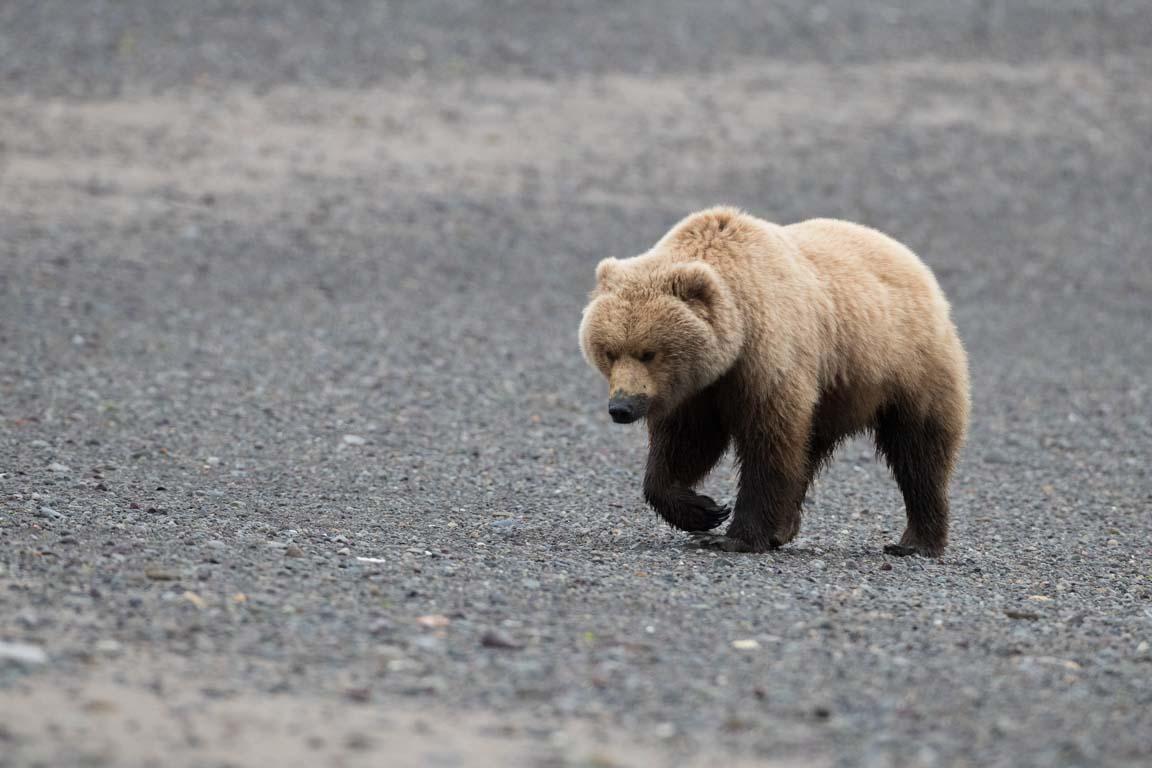 Lerig björn
