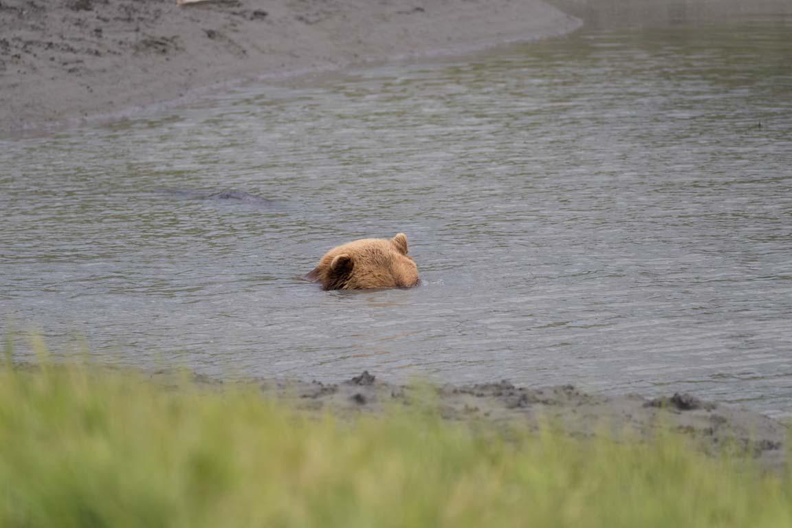 Badande björn
