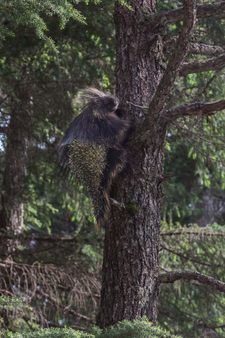 Nordamerikanskt trädpiggsvin, North American Porcupine, Erethizon dorsatum