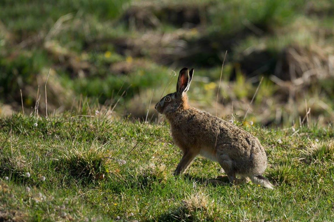 Fälthare, European hare, Lepus europaeus