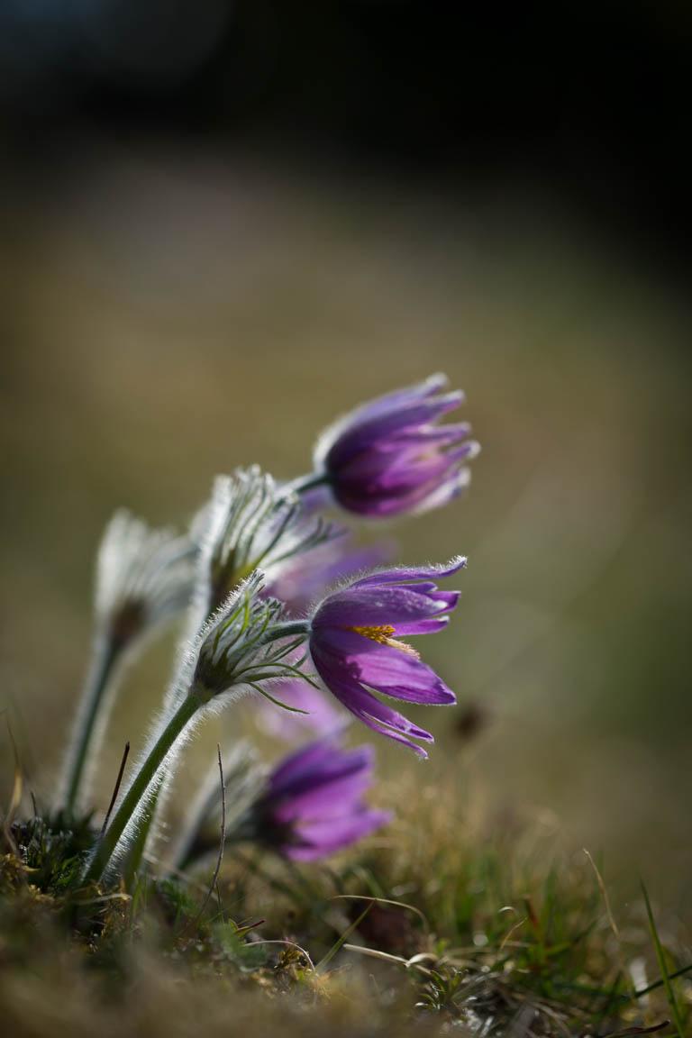 Backsippa, Pasque flower, Pulsatilla vulgaris