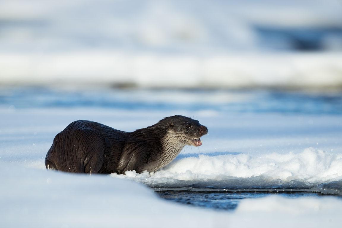 Utter, European otter, Lutra lutra