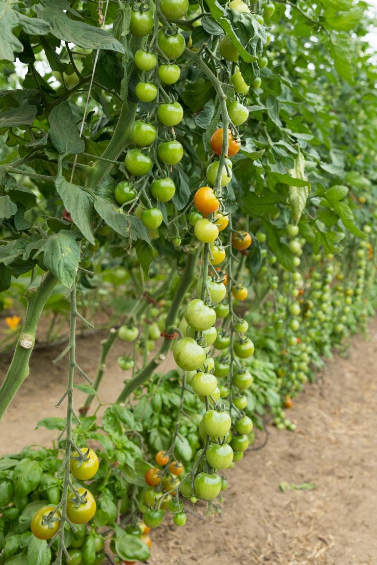 Tomatodling